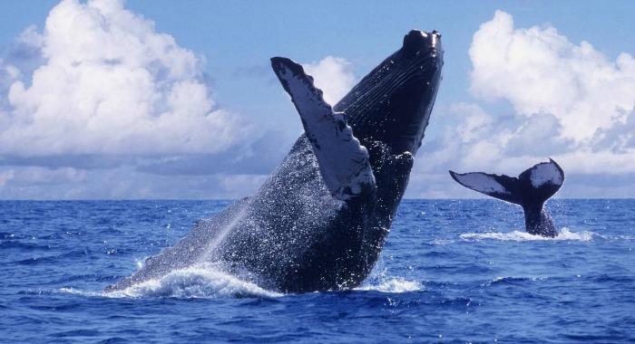 Ballenas Yubartas Nuqui